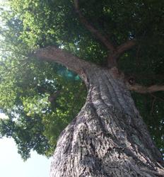 ニレの巨木