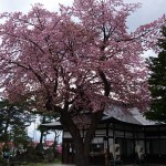 境内の桜が見頃です。