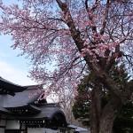 ようやく桜が開花いたしました!